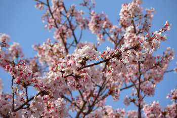 桜日爛漫 桜爛漫日